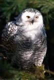 snow owl 4 700.jpg