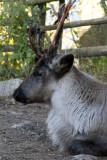 reindeer 700.jpg