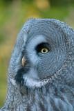 big grey owl 2 700.jpg