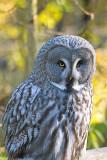 big grey owl 4 700.jpg