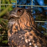 eagle owl 2 900.jpg