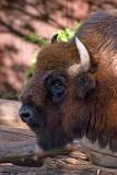 bison 700.jpg