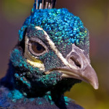 peacock portrait 900.jpg