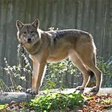 wolf 900.jpg