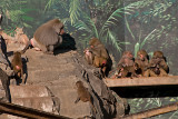 baboons 700.jpg