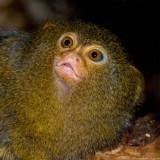 pygmy marmoset 4 900.jpg