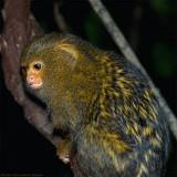 pygmy marmoset 5 900.jpg