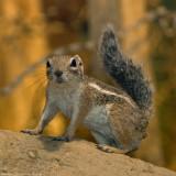 anthelope ground squirrel 900.jpg