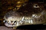 cuban croc big smile 700.jpg