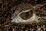 cuban croc eye 700.jpg