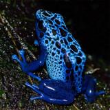 blue dart poison frog 900.jpg
