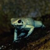 golden poison frog 900.jpg