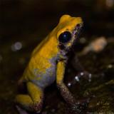 black-legged poison frog 900.jpg