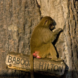 baboon hilton 900.jpg