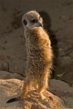 meerkat sunbathing 700.jpg