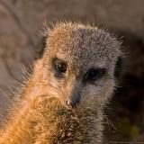 meerkat portrait 900.jpg