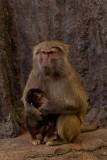 baboon mum and baby 700.jpg