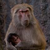 baboon mum and baby 900.jpg