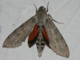 Erinnyis ello - Ello Sphinx Moth female