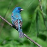 Warblers/Migratory birds