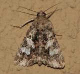 melipotis jucunda-merry melipotis (8607)