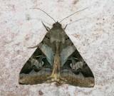 Melipotis indomita Hodges # 8600