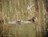 masked ducks