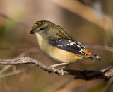 Spotted Pardalote (female)