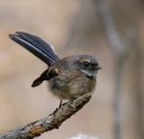 Grey Fantail (juvenile)