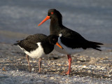 Pied Oystercatcher (adult with juvenile)