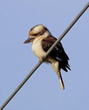 Laughing Kookaburra (intro to Tas.)