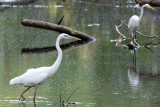 Great White Heron and Great Egret, Loop Road, Everglades NP.jpg