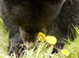 Bear Eating Dandelions