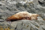Beat up old sea lion