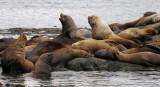More sea lions