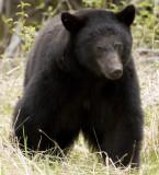 Old poppa bear
