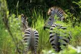 Crawshays Zebras