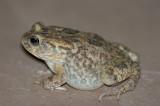 Western Olive Toad, Bufo poweri