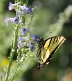Tiger Swallowtail Butterfly on Larkspur smallfile _DSC6918.jpg