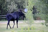 Moose Aug 18 2008 _DSC7946.JPG