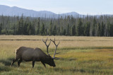 Bull Elk Yellowstone with Mountains _DSC8012.jpg