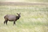 Female Elk Yellowstone _DSC7988.JPG