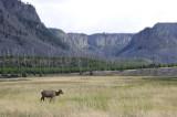 Female Elk Yellowstone _DSC7990.JPG