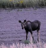 Baby Moose smallfile Aug 27 2008 _DSC8593.jpg