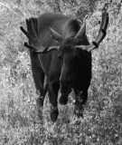 Moose BW _DSC8836.jpg
