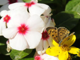 ISU flowers and butterfly quality8 _DSC9277.jpg