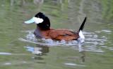 Ruddy duck _DSC8695.JPG