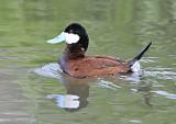 ruddy duck camas national wildlife refuge _DSC8707.JPG
