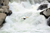 Pelican flying in front of waterfall on snake river at american falls _DSC9029.JPG