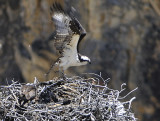 osprey leaving nest yellowstone national park canyon area _DSC9600.jpg